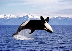 Gallery print  Killer Whale, leaping, Canada - Gérard Lacz