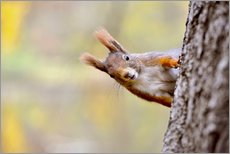 imageBROKER - Red Squirrel in an urban park in autumne