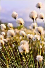 Gallery print  Flowering Tussock Cottongrass