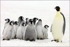 Wall sticker  Emperor penguin with chicks - Keren Su