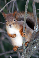 Gallery print  Squirrel guards his tree