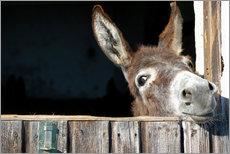Gallery print  Cute & curious little donkey