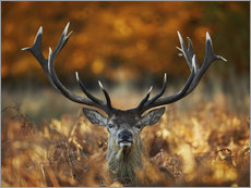 Gallery print  The stag king of fire - Alex Saberi
