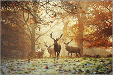 Gallery Print  Stags and deer in an autumn forest with mist - Alex Saberi