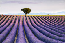 Wall sticker Lavender field and tree at sunset, Provence