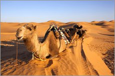 Wall sticker  Saddled camels in the desert - Walter Bibikow