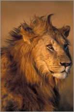 Gallery print  Lion in the sunlight - Paul Souders