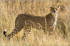 Gallery print  Cheetah in the dry grass - Ralph H. Bendjebar