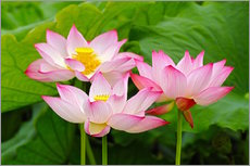 Wall sticker  Three Indian lotus flowers - Adam Jones