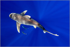 Wall sticker  Oceanic Whitetip Shark with pilot fish - Cultura/Seb Oliver