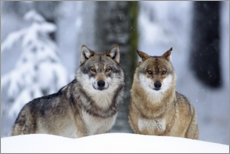Gallery print  Wolves in the snow - age fotostock