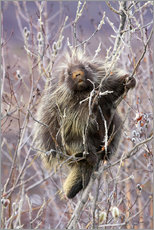 Wall sticker  Porcupine hanging to a Willow branch - Alaska Stock
