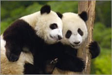 Wall sticker  Young pandas at tree trunk - Pete Oxford
