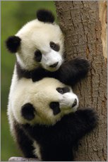Wall sticker  Giant Panda babies clinging to a tree trunk - Pete Oxford
