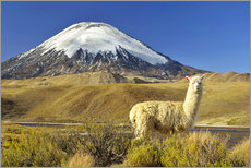 Gallery print  Alpaca at the foot of the volcano Parinacota - age fotostock