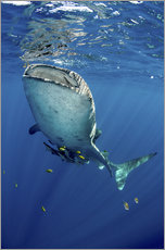 Gallery print  Whale shark under water - Pete Oxford