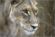 Wall sticker  Lioness in the Okavango Delta, Botswana - Janet Muir
