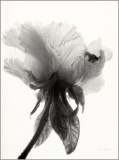 Wall sticker  Translucent Peony VII - Debra Van Swearingen