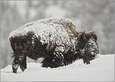 Gallery print  Bison bull covered with snow - James Hager