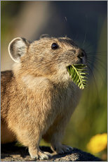 Gallery print  American pika with food in his whiskers - James Hager