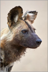 Gallery print  African wild dog - James Hager