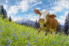 Gallery print  Young cattle Muhh - Michael Rucker