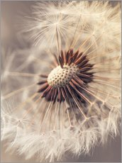 Wall sticker  Dandelion closeup - Julia Delgado