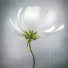 Wall sticker  Cosmos - Mandy Disher