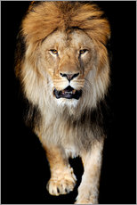 Gallery print  Portrait of a lion