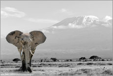 Premium poster An elephant in front of Kilimanjaro