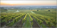 Canvas print  Vineyards at sunrise, Lower Austria - Gerhard Wild