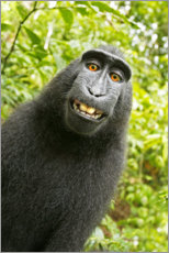 Canvas print  Monkey Selfie II - David Slater