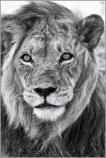 Acrylic print  King of the Kalahari - wiw