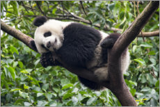 Premium poster  Sleeping panda bear on a tree - Jan Christopher Becke