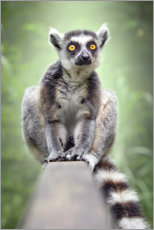 Canvas print  Lemur - Bettina Dittmann