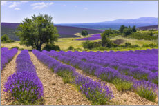 Wall sticker  Lavender fields of Provence - Jürgen Feuerer