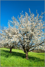 Canvas  Blossoming cherry trees on the field - Peter Wey