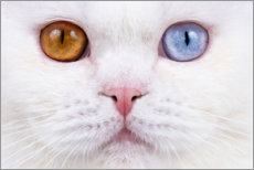 Premium poster Odd eyed cats