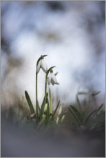 Wood print  Lovely snowdrops - Bob Daalder