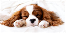 Gallery print  Sleeping puppy - Janina Bürger