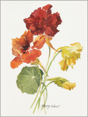 Acrylic print  Nasturtium, watercolor - Mary Want
