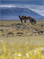 Canvas print  Iceland horses - Anke Butawitsch