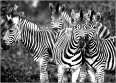 Canvas print  Curious Zebras