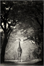 Premium poster  Giraffe in the clearing - Markus Niegtsch
