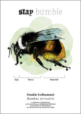 Premium poster  Anatomy of the buff-tailed Bumblebee - Velozee