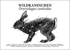 Premium poster Anatomy of the wild rabbit