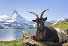 Premium poster  Matterhorn with Valais black-necked goat - Jan Christopher Becke