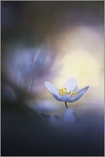Acrylic print  A wood anemone and it's darkside - Bob Daalder