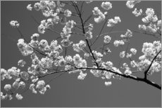 Wood print  Cherry blossom in black and white