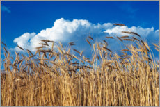 Wood print  Barley field under blue sky